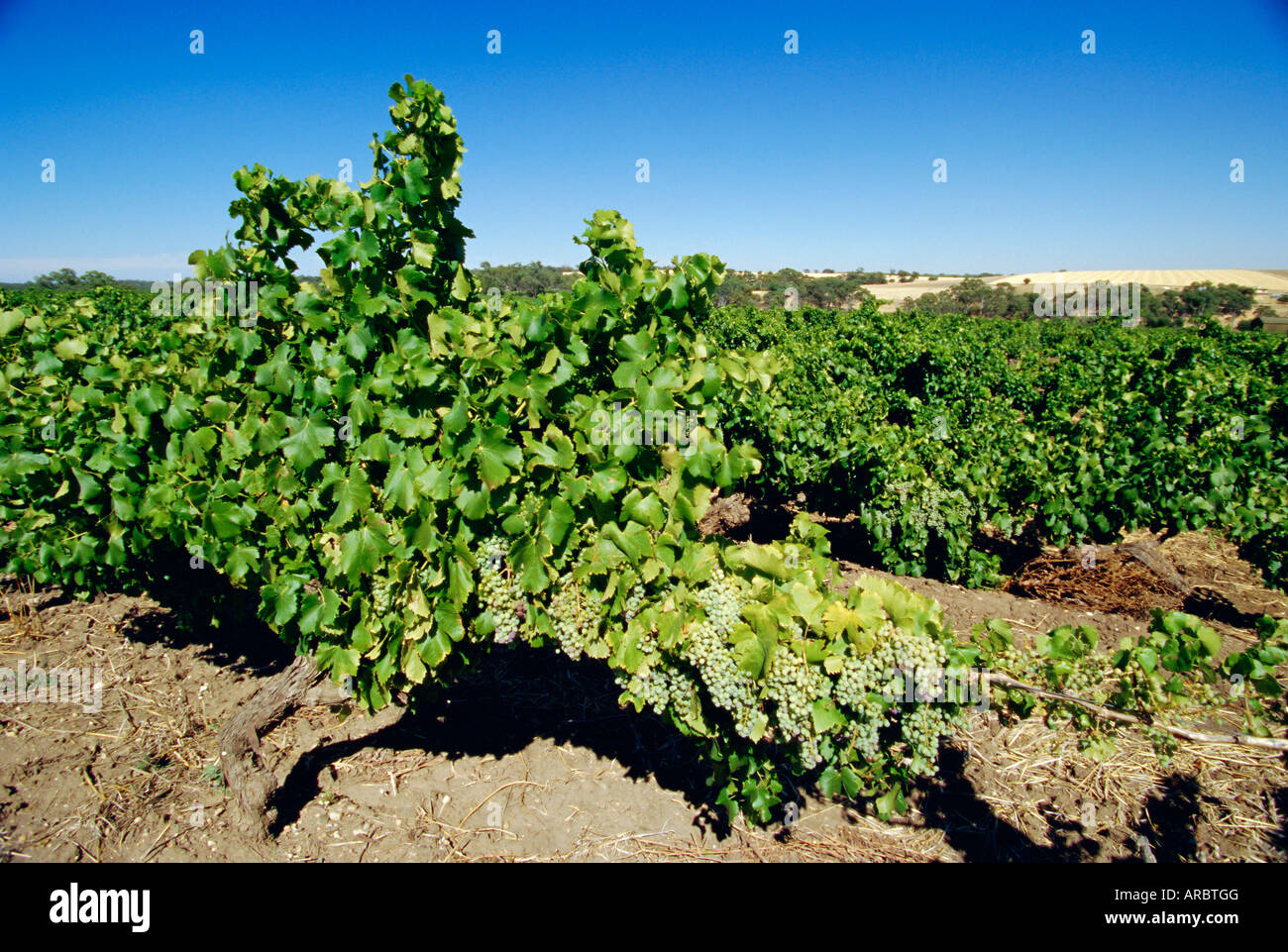 Vines at a winery vineyard, Barossa Valley, South Australia, Australia - Stock Image