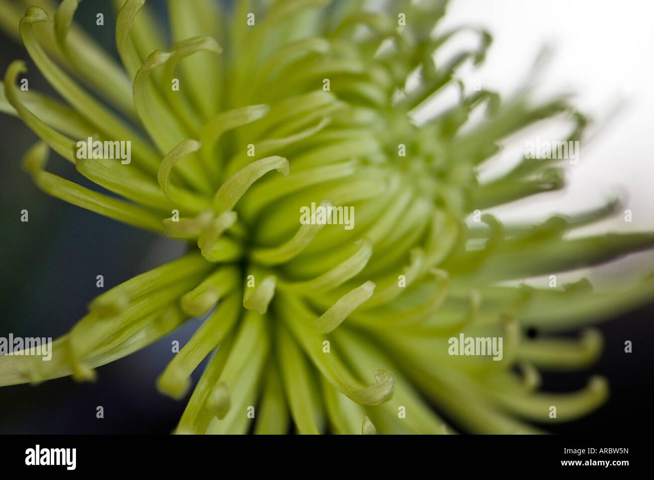 Yellow fiji mum Stock Photo