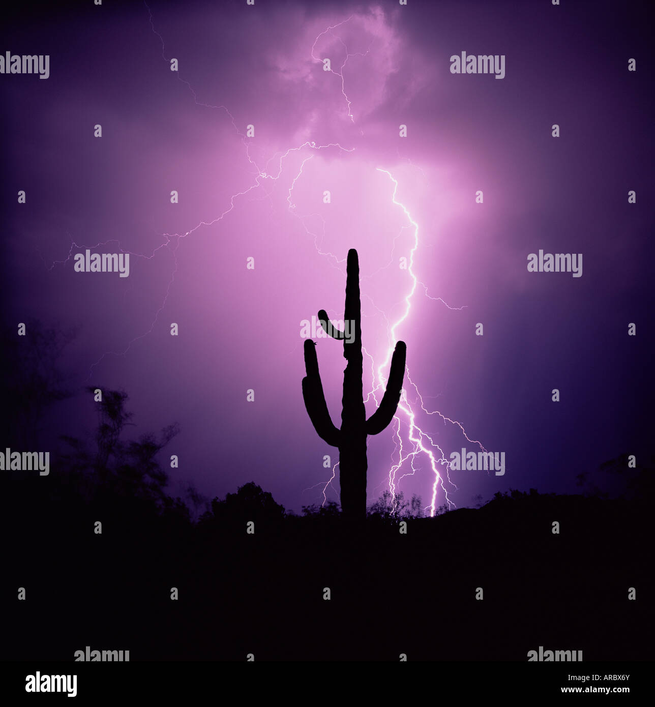 Cactus silhouetted against lightning, Tucson, Arizona, United States of America (U.S.A.), North America - Stock Image