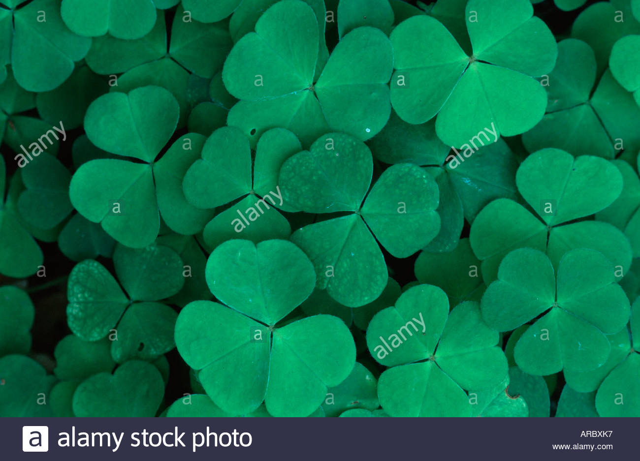 Clover / Klee - Stock Image