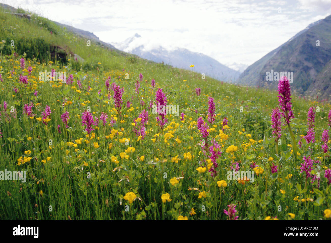Wild orchids flowering in a meadow in the Himalayas south of Keylong, Himachal Pradesh, India - Stock Image