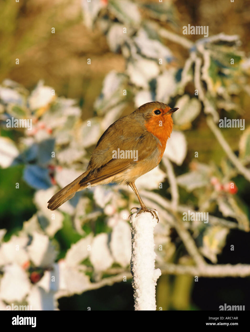 Close-up of a robin  (Erithacus rubecula) perching on a post - Stock Image