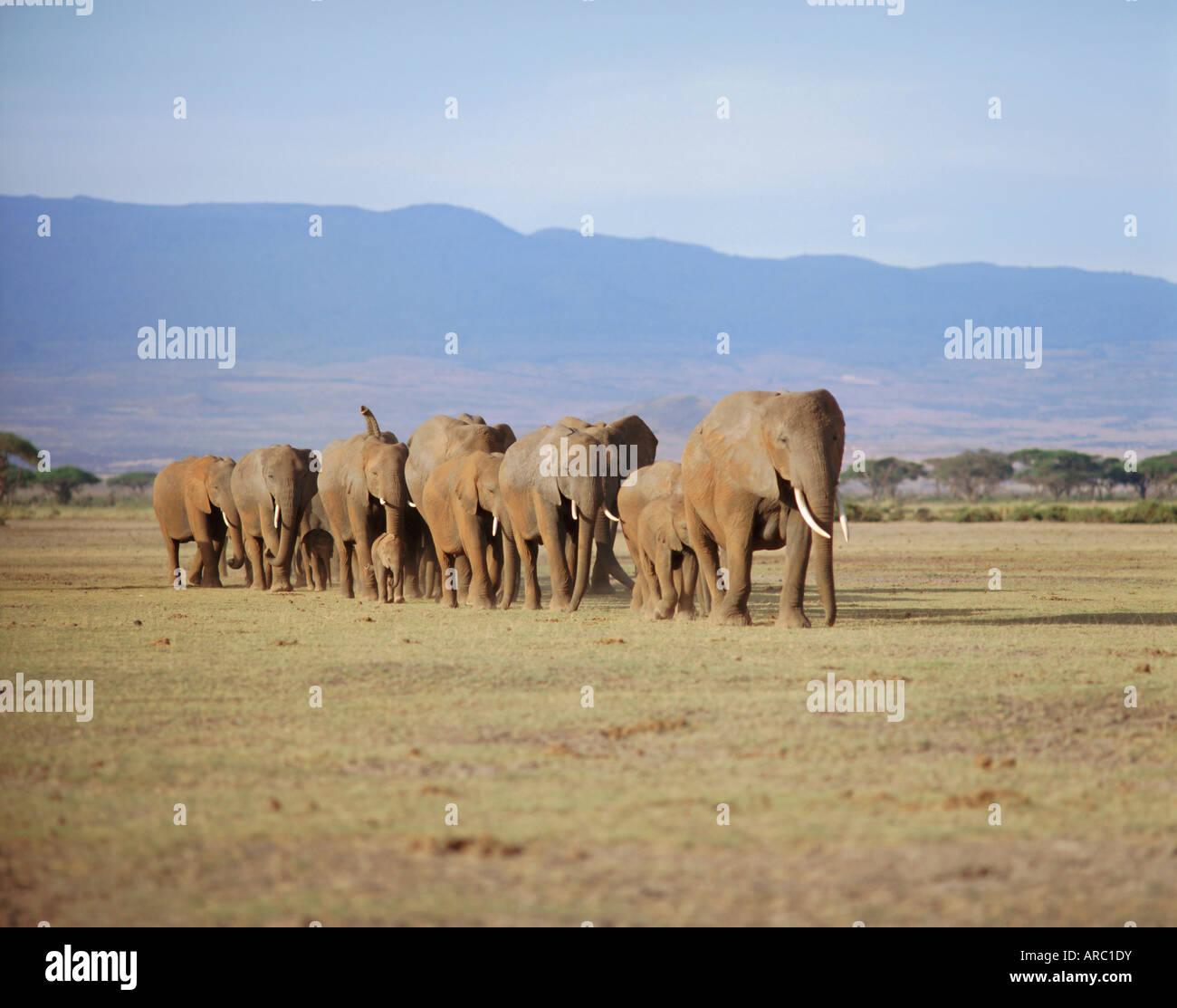 A group of elephants including young, Amboseli National Park, Kenya - Stock Image