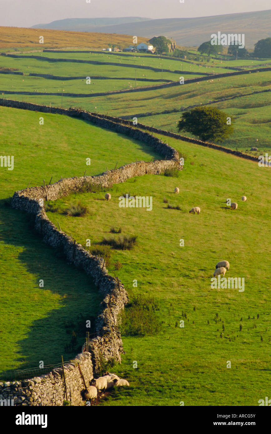 Stonewalls and sheep, near Ribblehead, Yorkshire, England, UK, Europe - Stock Image