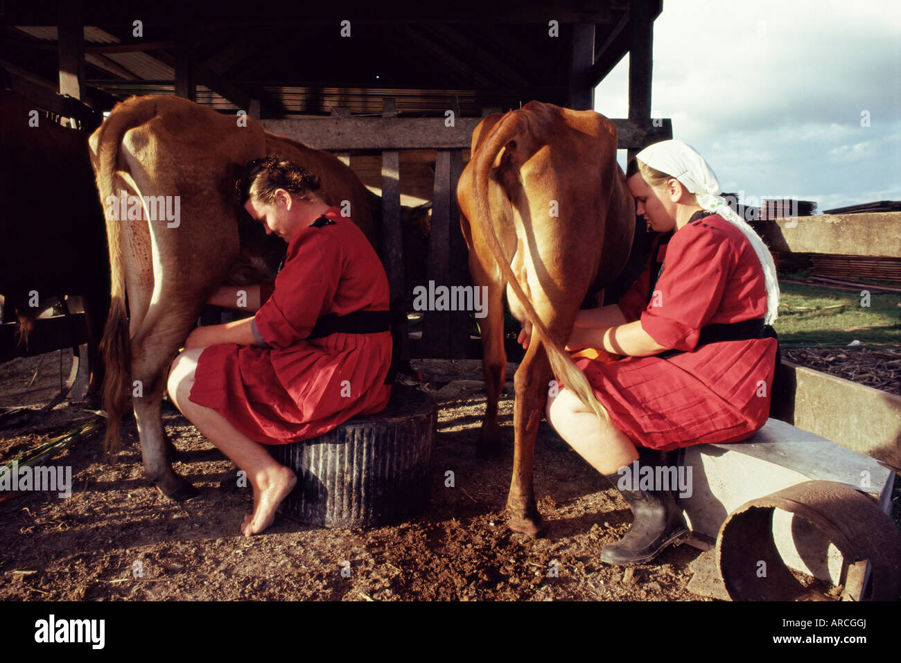 Traditional Mennonite girls miling cows, Camp 9, Shipyard, Belize, Central America - Stock Image