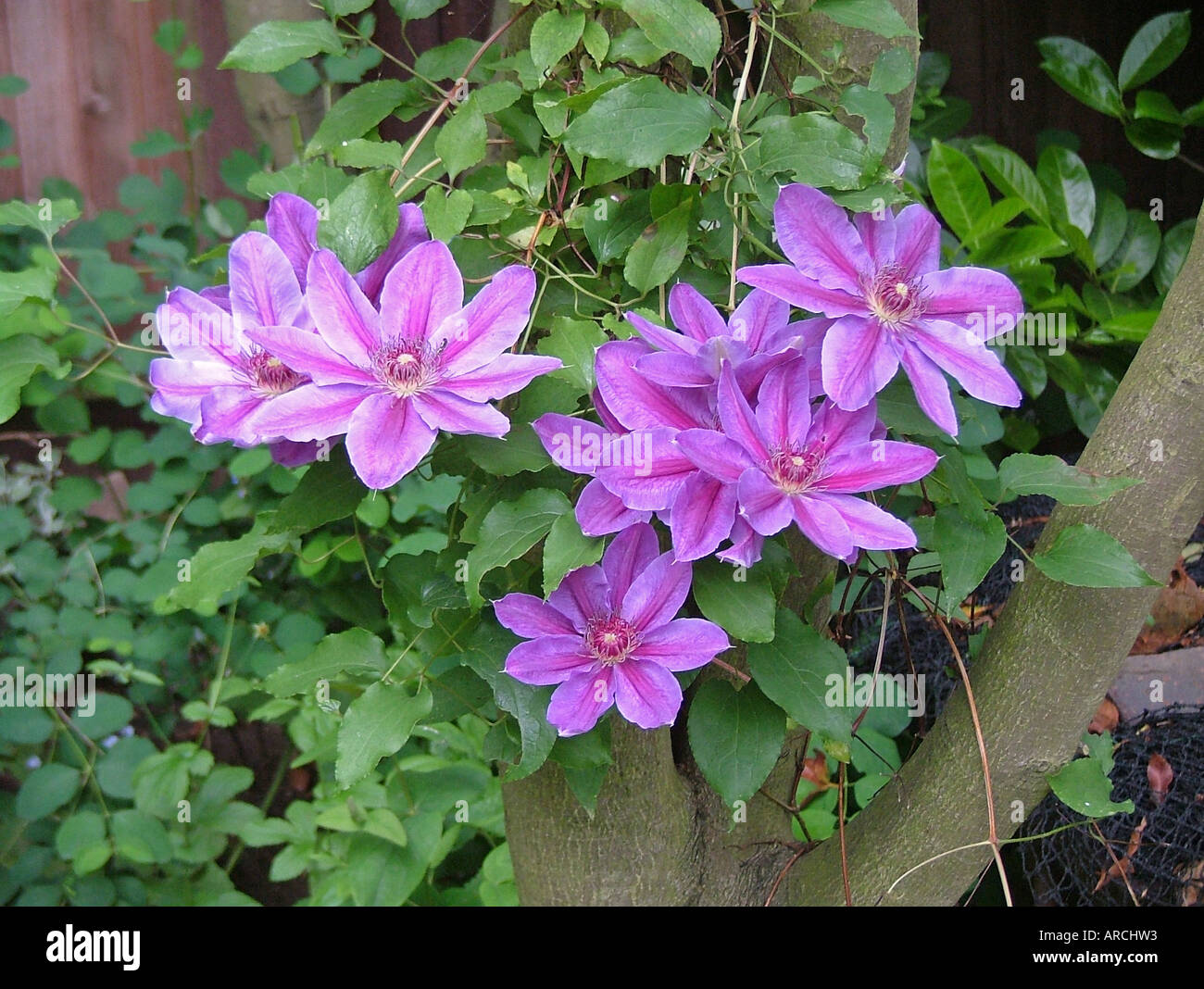 clematis horn of plenty growing up tree stock photo 9149778 alamy