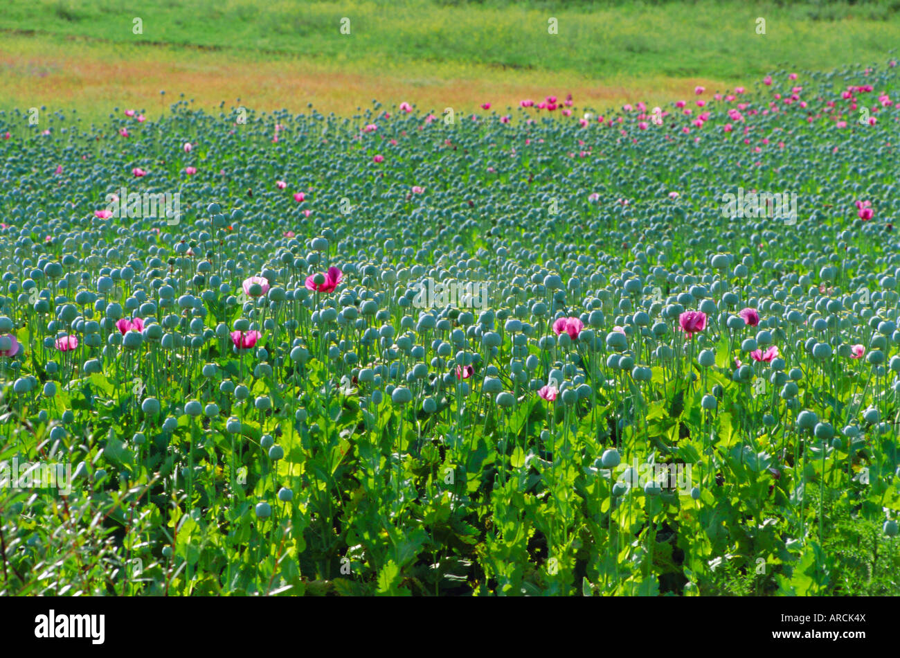 Opium Poppies are a legal crop for production of Morphine, Sandinski, Bulgaria - Stock Image
