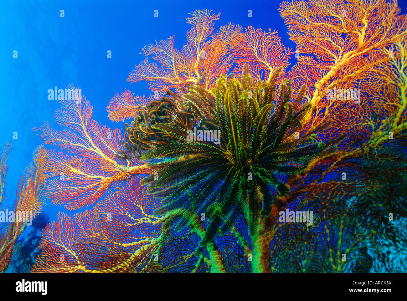 Featherstars perch on the edge of Gorgonian Sea Fans to feed in the current, Fiji, Pacific Ocean Stock Photo