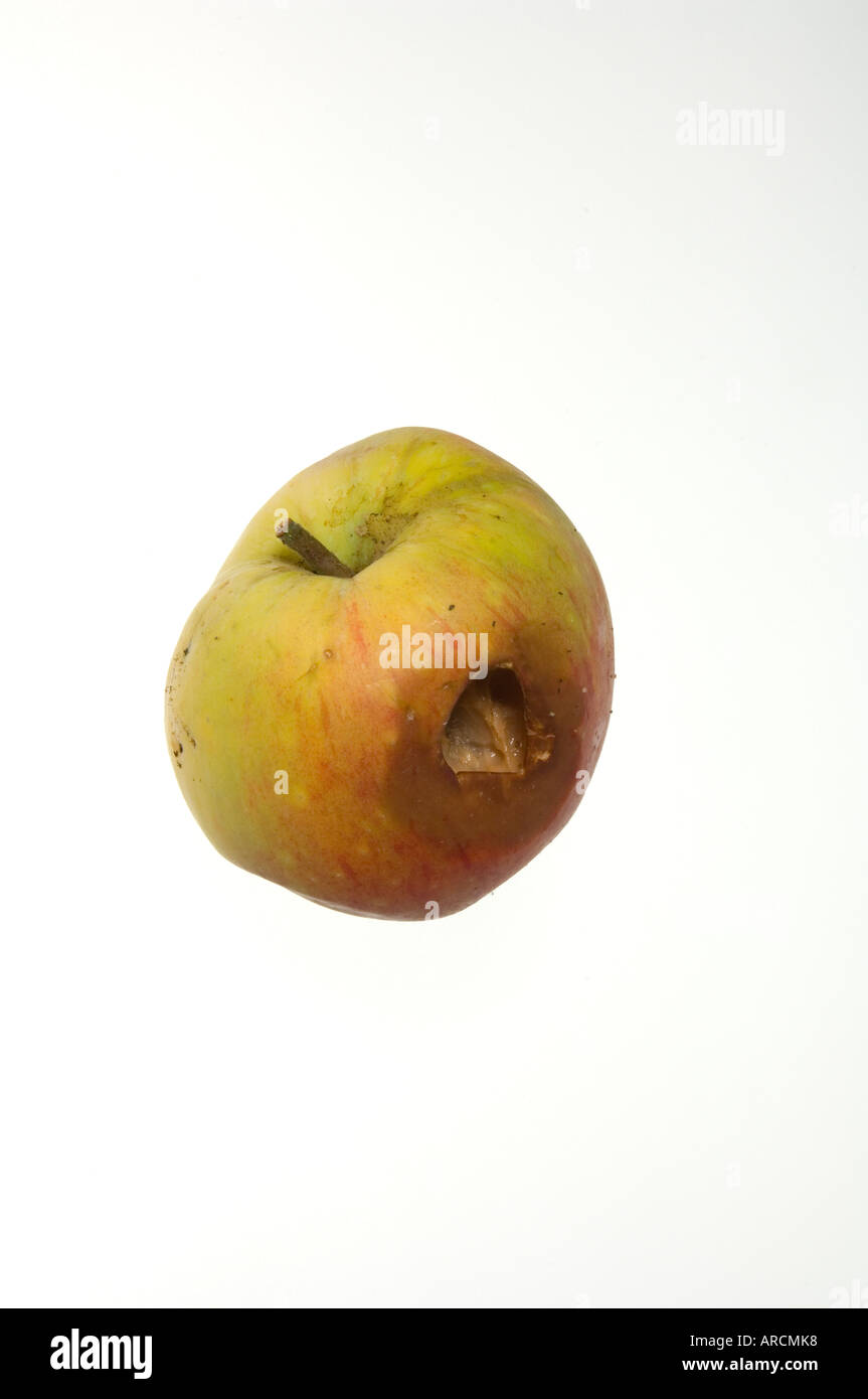 A goodly apple rotten at the core - an apple with damage caused by an insect - Stock Image