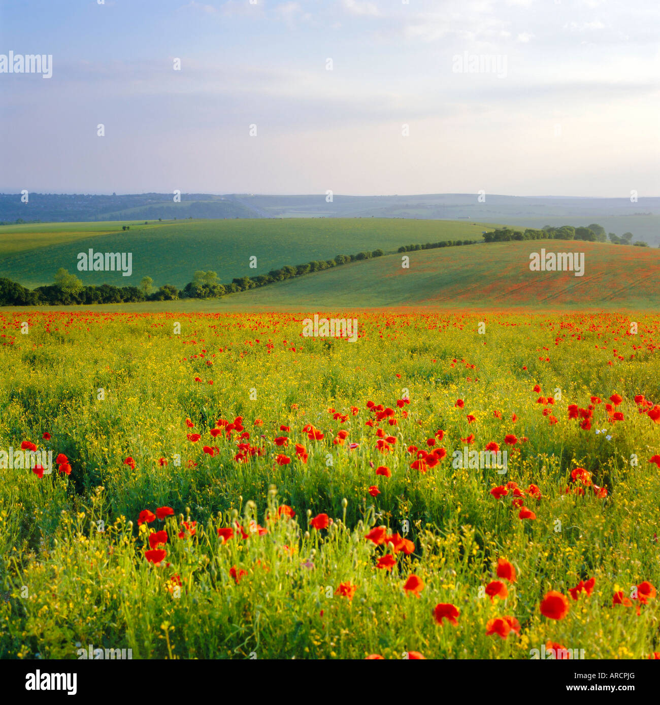 Poppies on the South Downs, Sussex, England - Stock Image