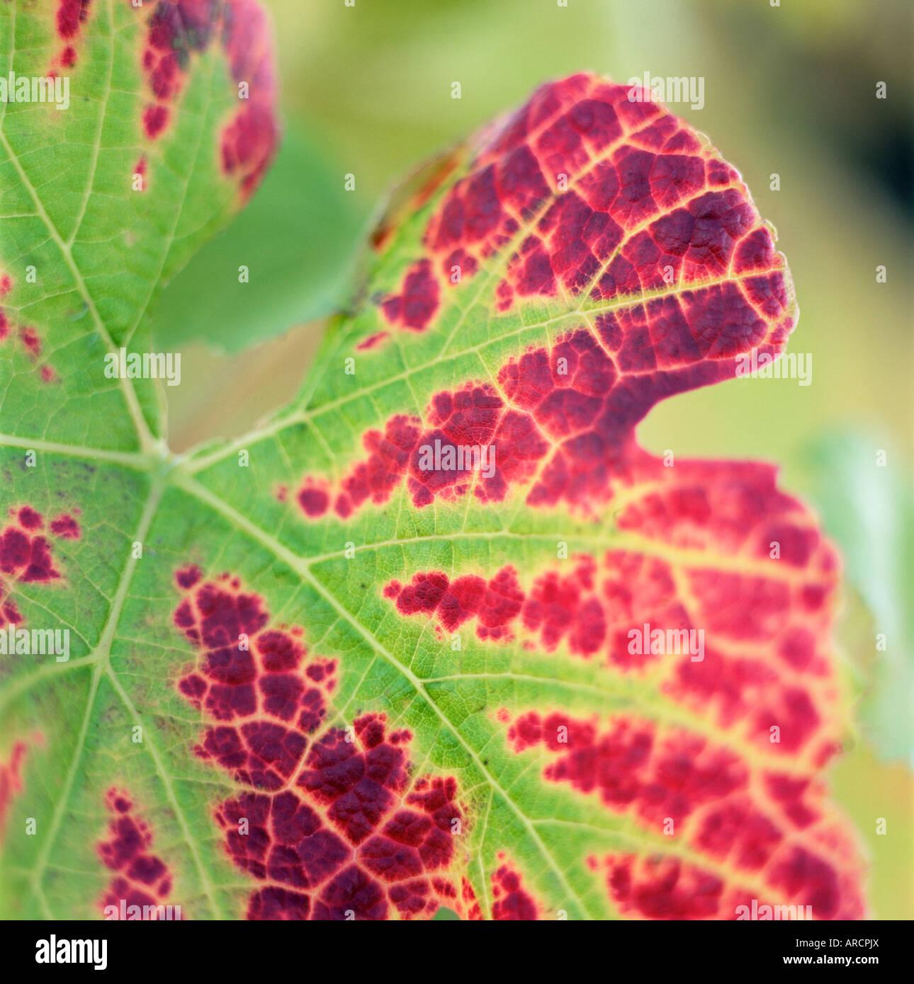 Close-up of a vine leaf in autumn Stock Photo