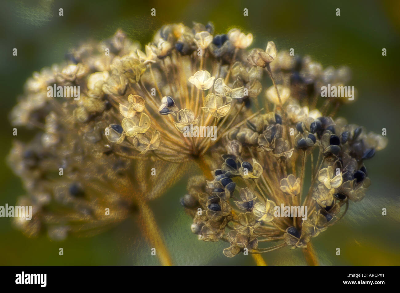 Lace Flower Seedheads Stock Photo