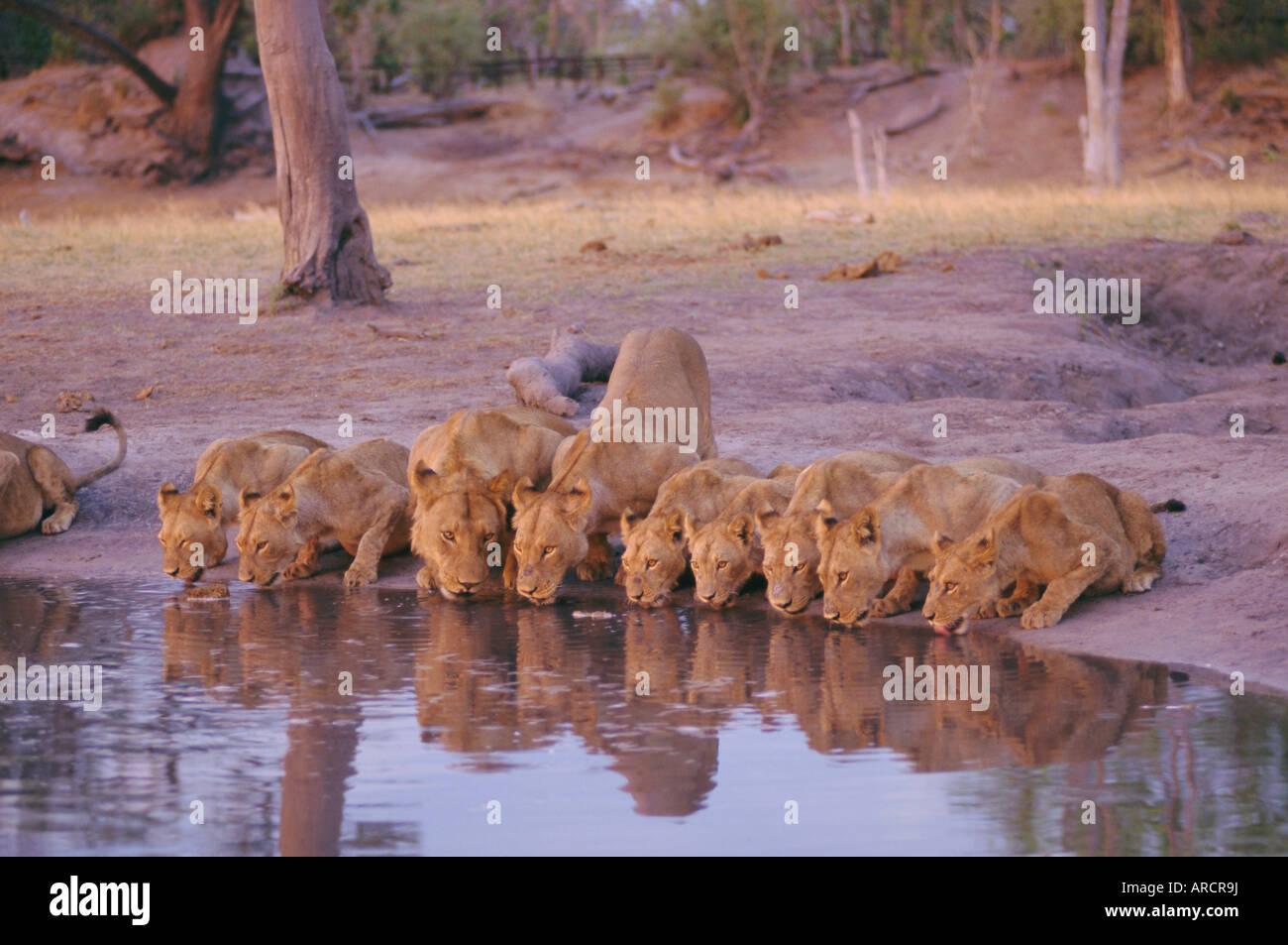 Lion (Panthera leo) at water hole, Okavango Delta, Botswana, Africa - Stock Image