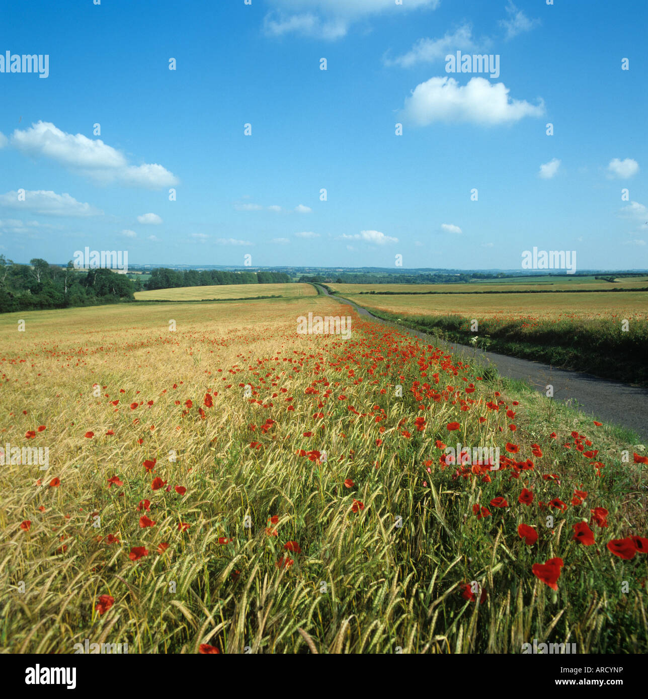 Country road with poppies flowering on either side in margins of ripening barley Hampshire - Stock Image