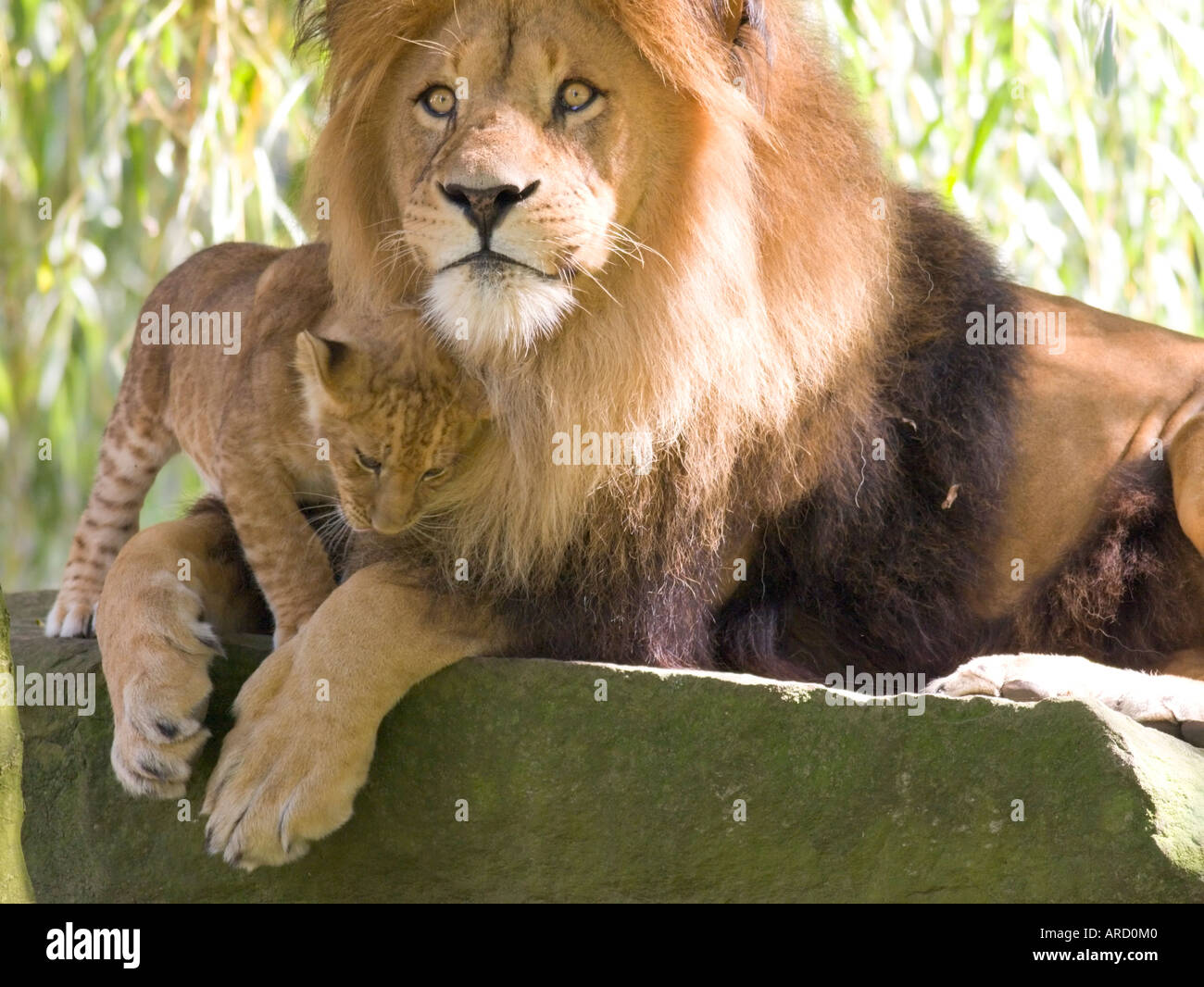 Father Son Lion Male Lion Stock Photos & Father Son Lion