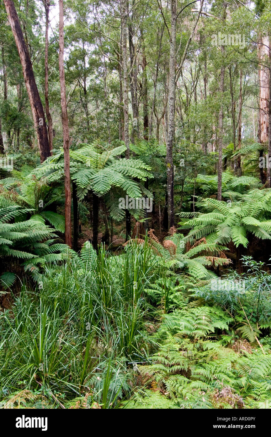 Tree Ferns East Gippsland Victoria Australia - Stock Image