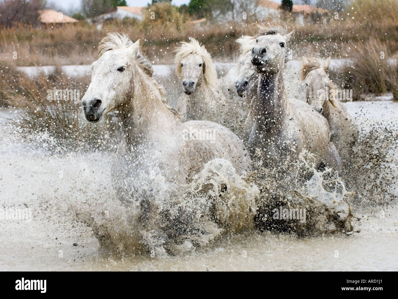 Camargue White Horses (stallions) charging through water, Camargue, Provence, France - Stock Image