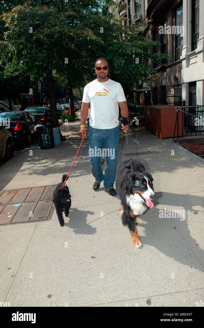 African american man walks a Burmerse mountain dog R and a poodle L on the streets of the Upper West Side in NYC - Stock Image