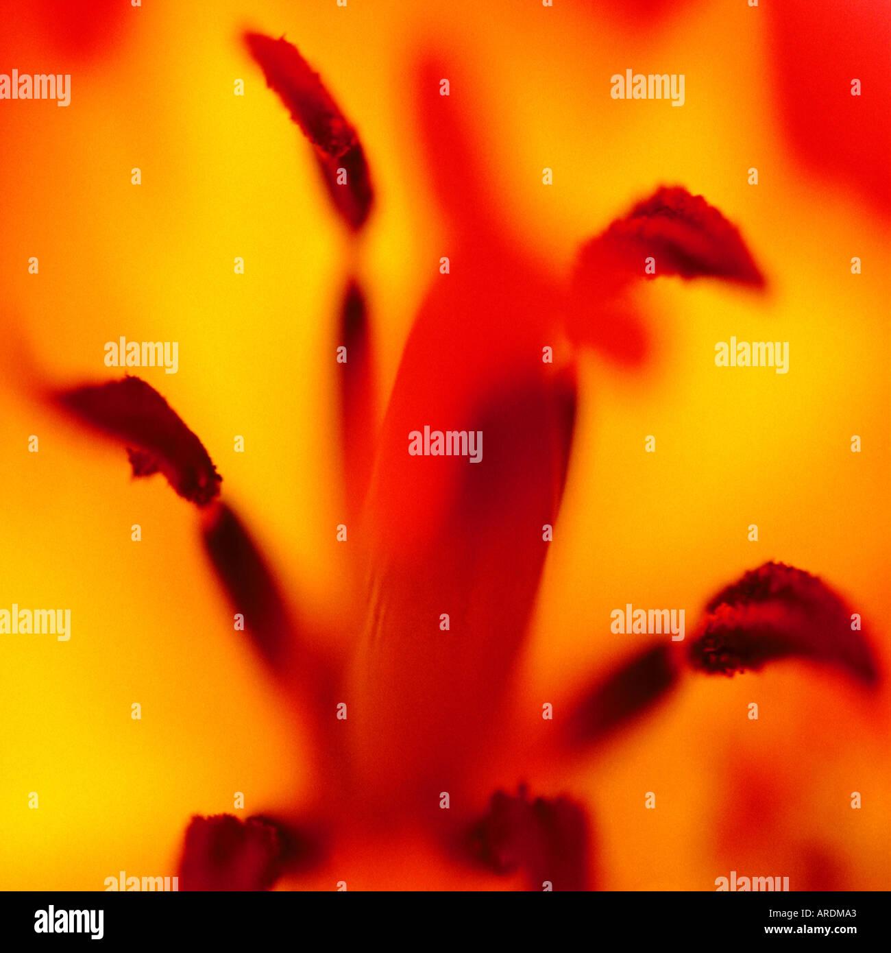 Tulip closeup - Stock Image