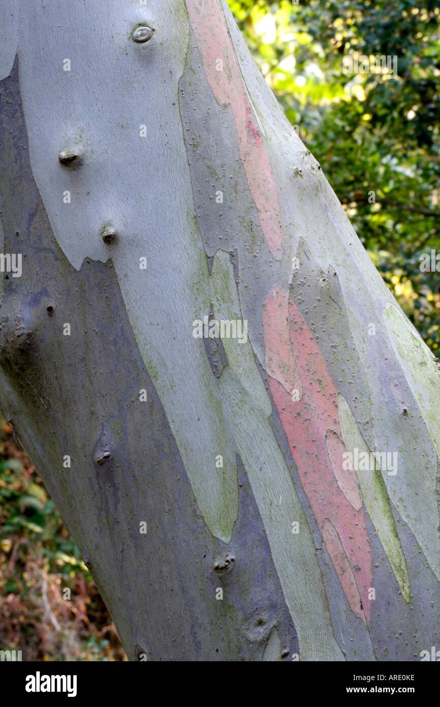 Eucalyptus niphophila in Holbrook Garden Devon - Stock Image