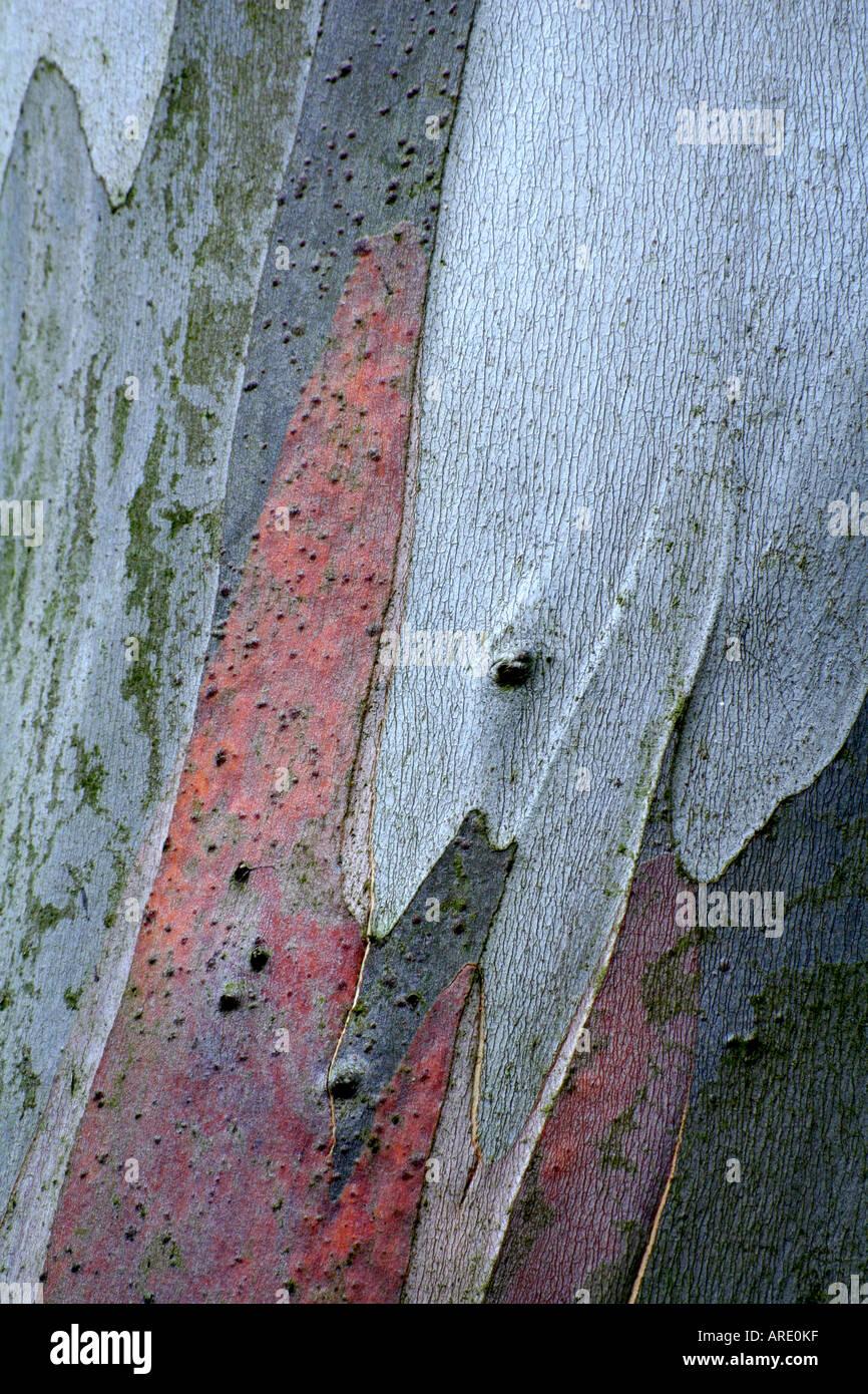 Eucalyptus niphophila bark during September - Stock Image