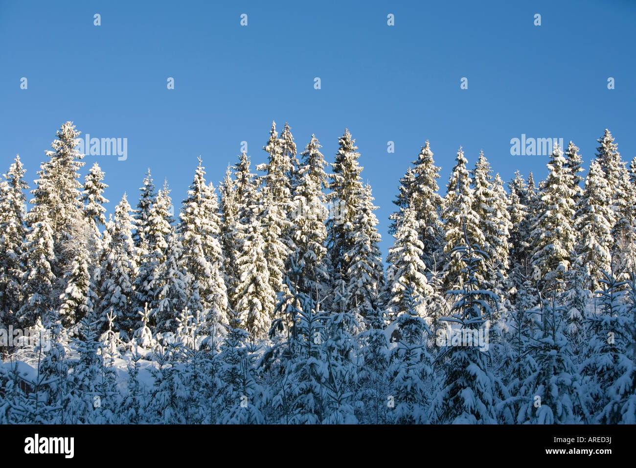 Spruce  ( picea abies ) forest at Winter , Finland - Stock Image