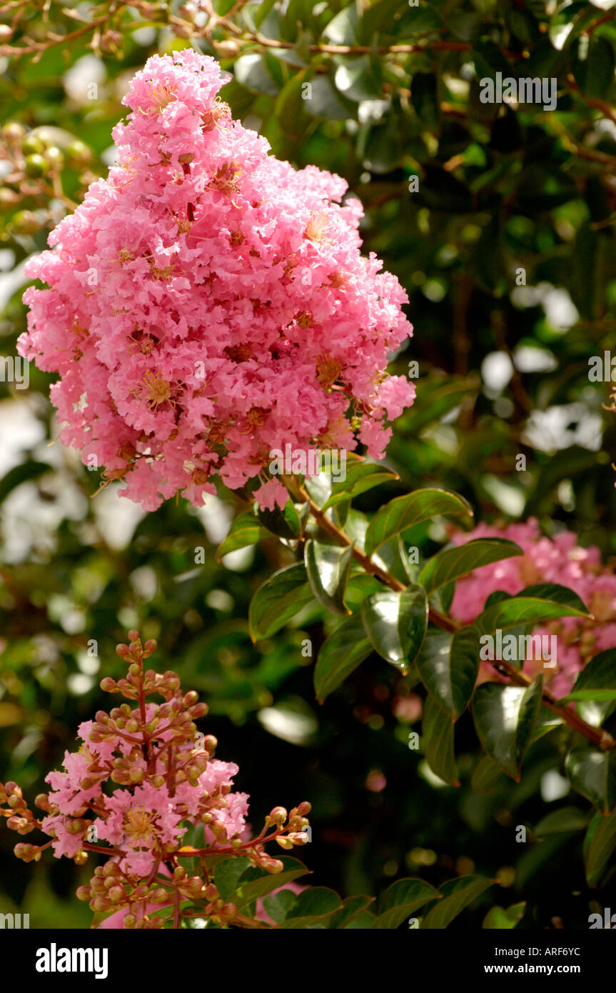 Pink flowering tree in savanna georgia usa stock photo 9163835 alamy pink flowering tree in savanna georgia usa mightylinksfo