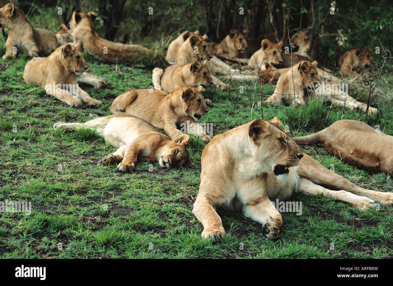 Large group of eighteen 18 lionesses and cubs lying down and relaxing in Masai Mara National Reserve Kenya East - Stock Image