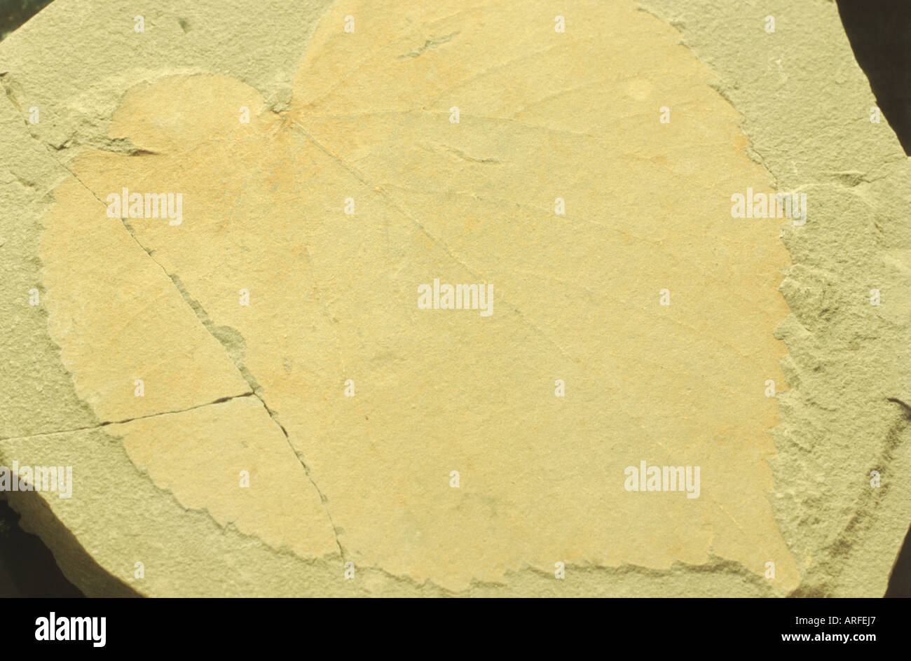 lime tree species (Tilia spec.), fossile leaf from the pliocene, Germany - Stock Image