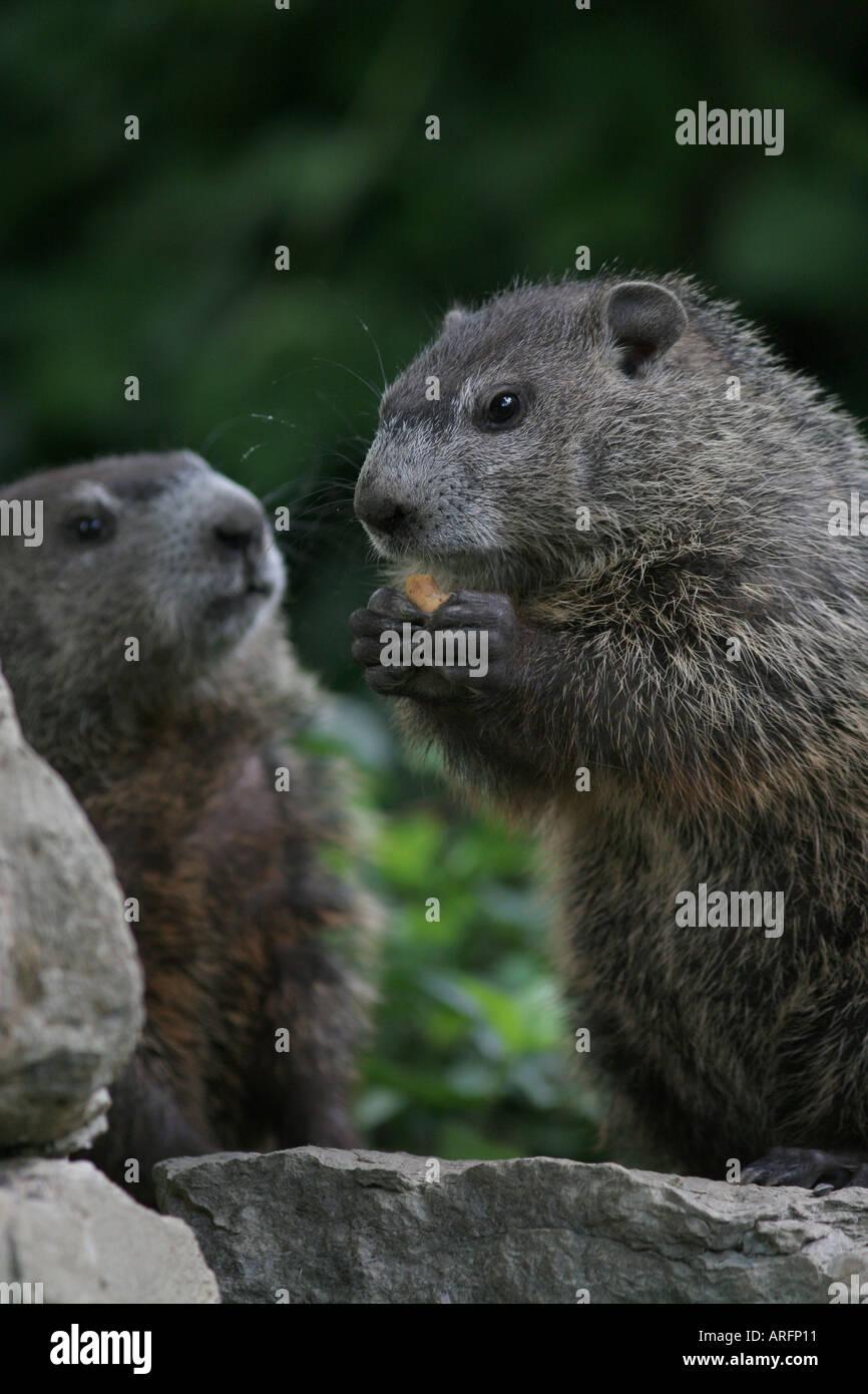 woodchuck babies - Stock Image