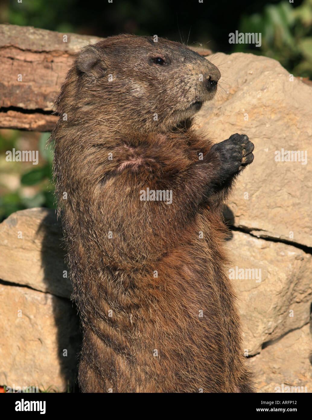 woodchuck standing eeding - Stock Image