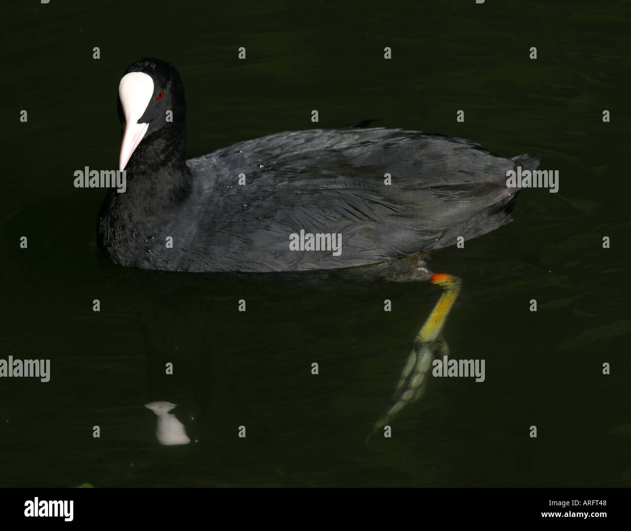 Coot with reflection and foot - Stock Image