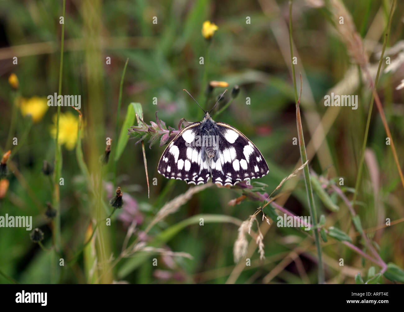 Female Marbled White butterfly in submissive position Stock Photo