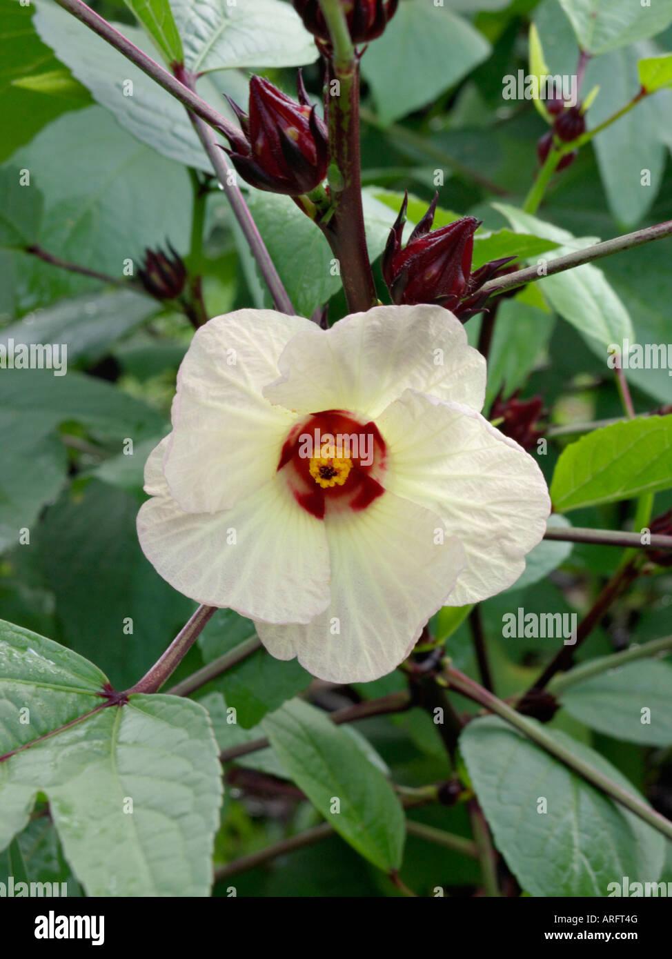 Jamaica Sorrel Hibiscus Sabdariffa Stock Photo 16042479 Alamy