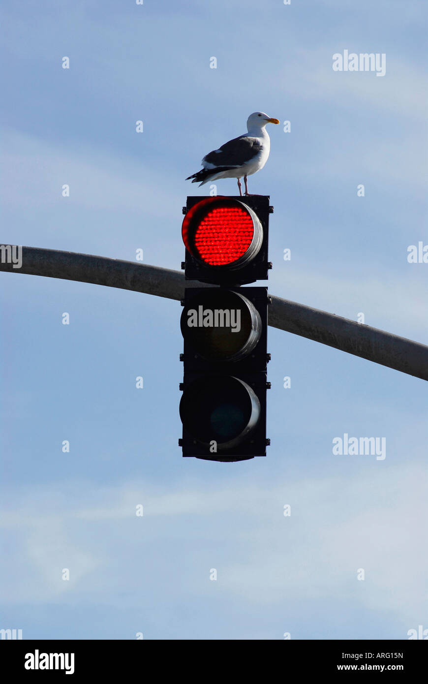 'seagull perched on stoplight' - Stock Image