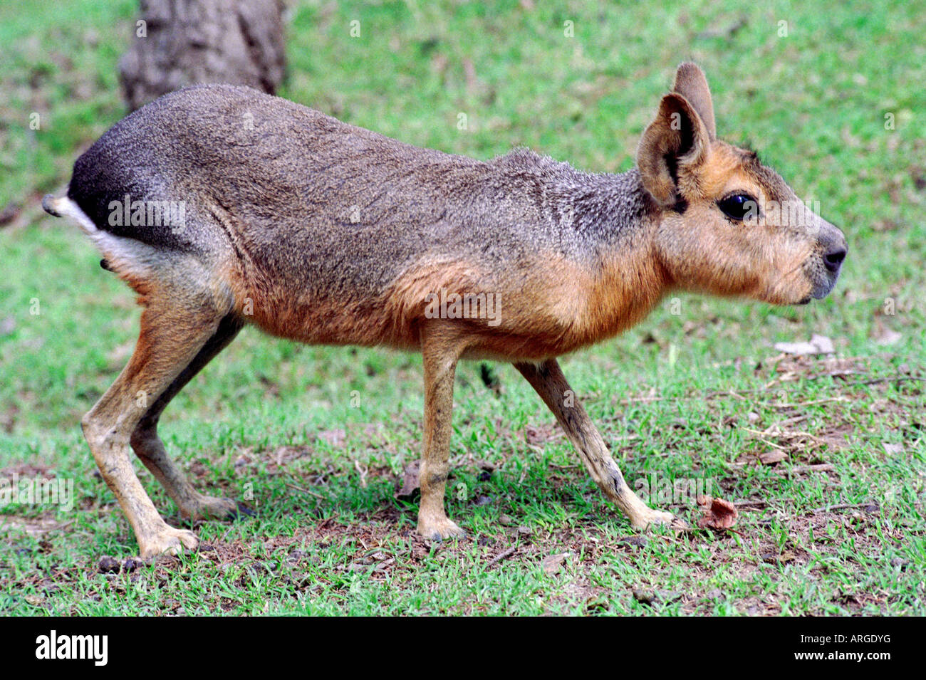 Patagonic Mara (Dolichotis patagonum) from Monte and Patagonia ecosystems in Argentina - Stock Image
