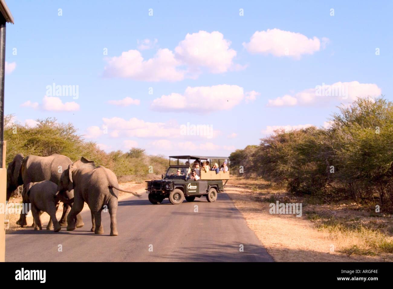 Tourists on Safari Sighting Rare Elephants on Road in Kruger National Park - Stock Image