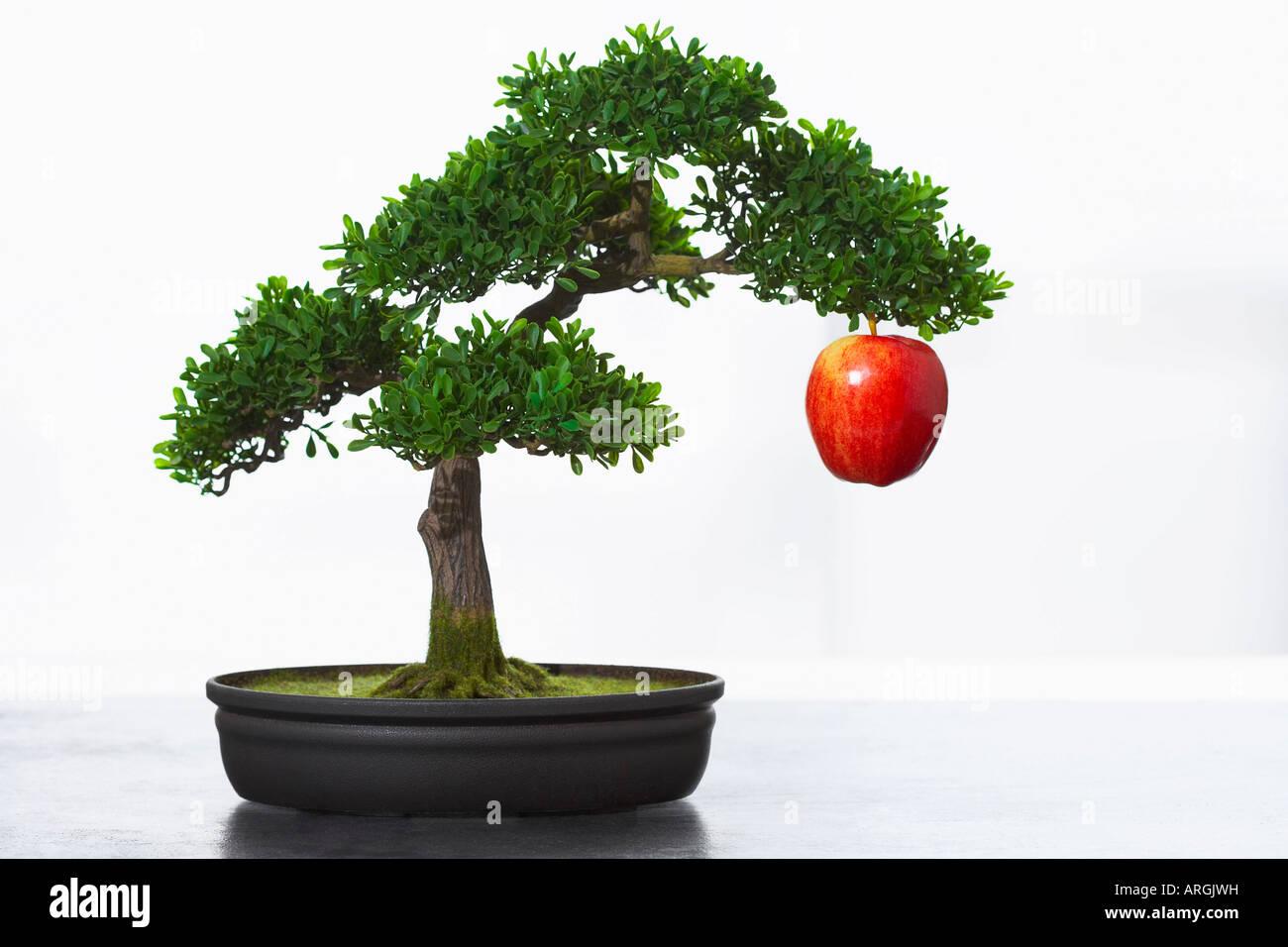 Apple Hanging From Bonsai Tree Stock Photo Alamy