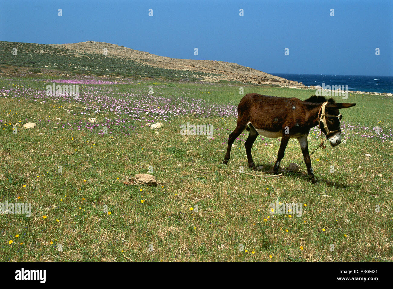 A donkey broken free from its tether walking across a patch of meadow by the coast of the Karpas peninsula in North Stock Photo