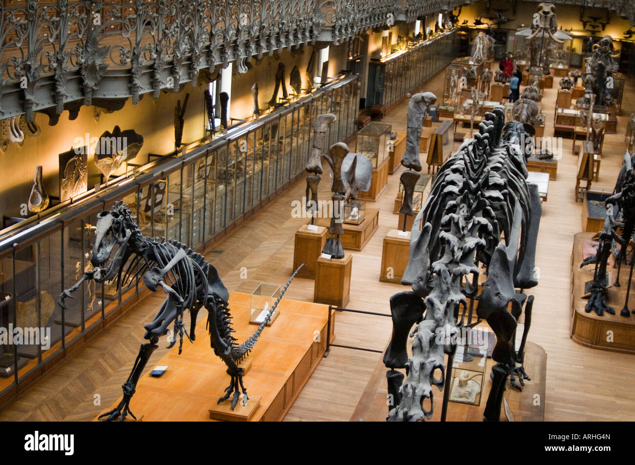 Skeleton of an Allosaurus in the Paleontology and Comparative Anatomy Gallery Natural History Museum Paris, France - Stock Image