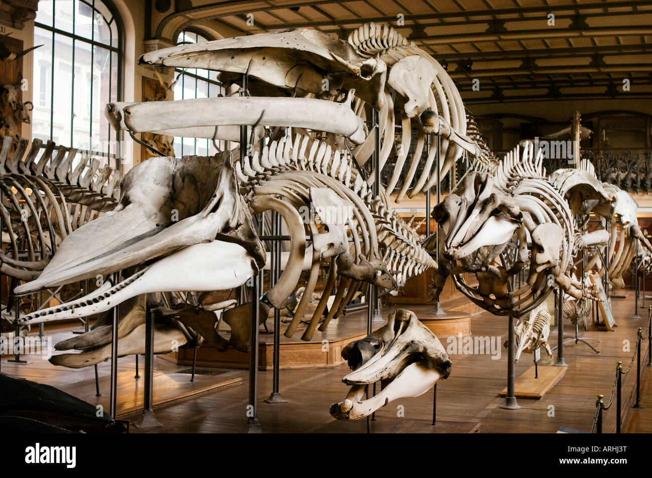 An exhibition of bones and skeletons in the Paleontology and Comparative Anatomy Gallery Natural History Museum - Stock Image
