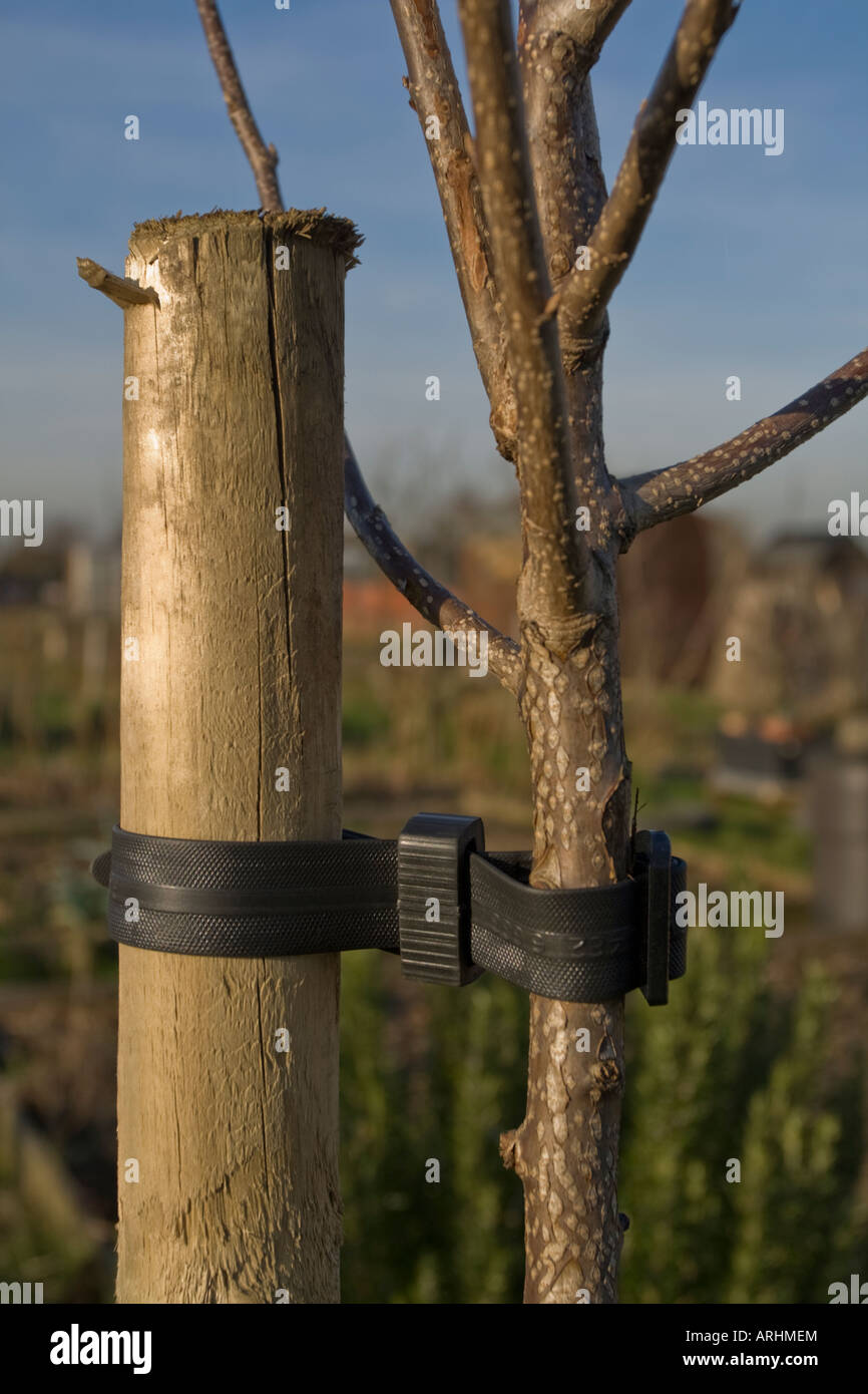 young tree being supported by a stake and tree support stock photo
