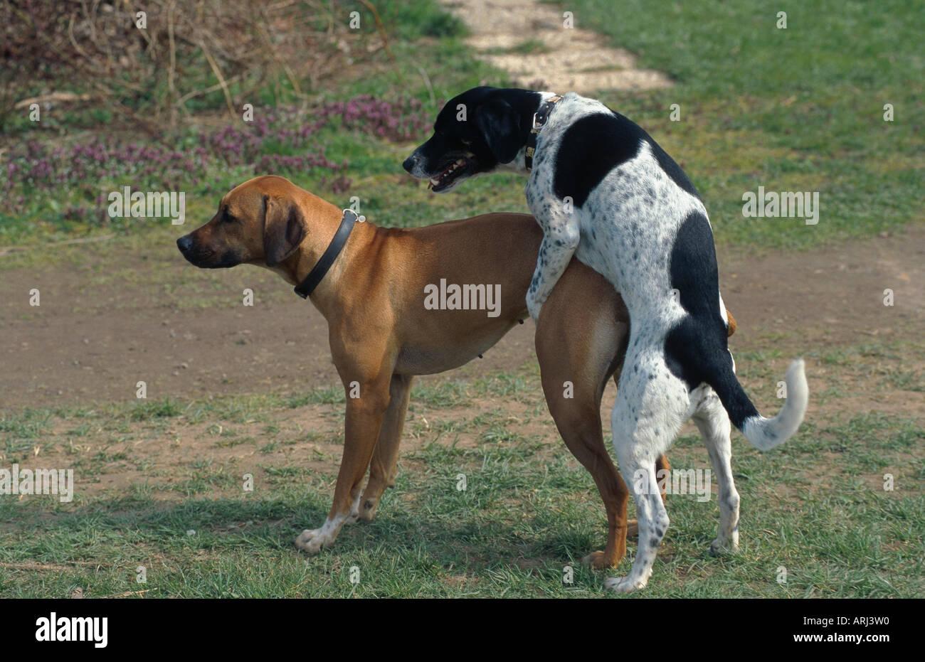 Breeding Male Dogs