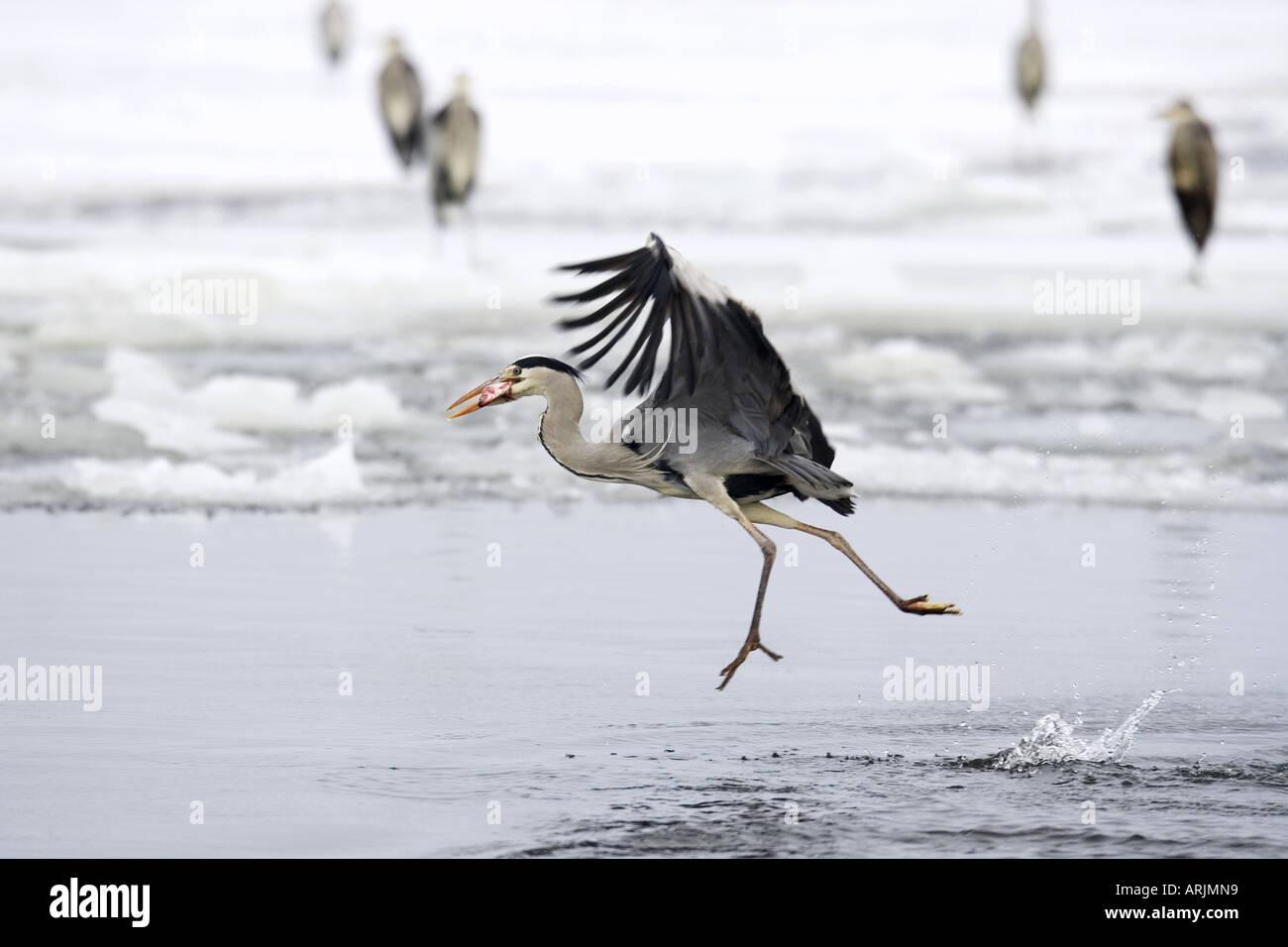 grey heron - flying with booty in beak Ardea cinerea - Stock Image