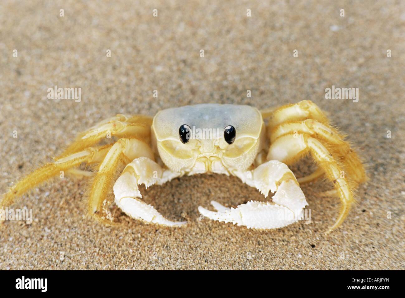 Ghost crab (sand crab), Genus ocypode, Parque Nacional de Fernando de Noronha, Fernando de Noronha, Pernambuco, - Stock Image