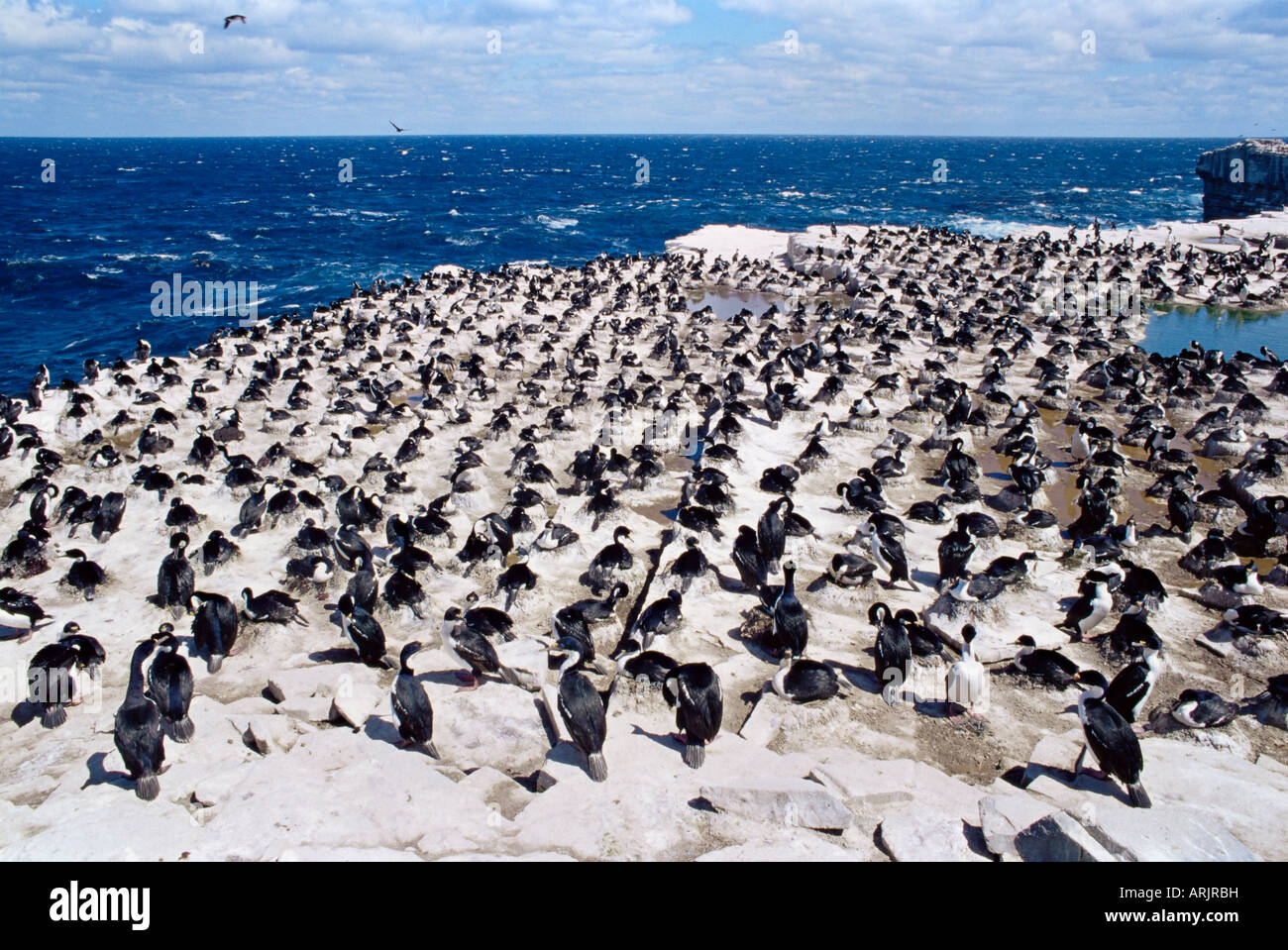 Imperial (king) shags (Phalacrocorax atriceps albiventer), Sea Lion Island, Falkland Islands, South Atlantic, South - Stock Image