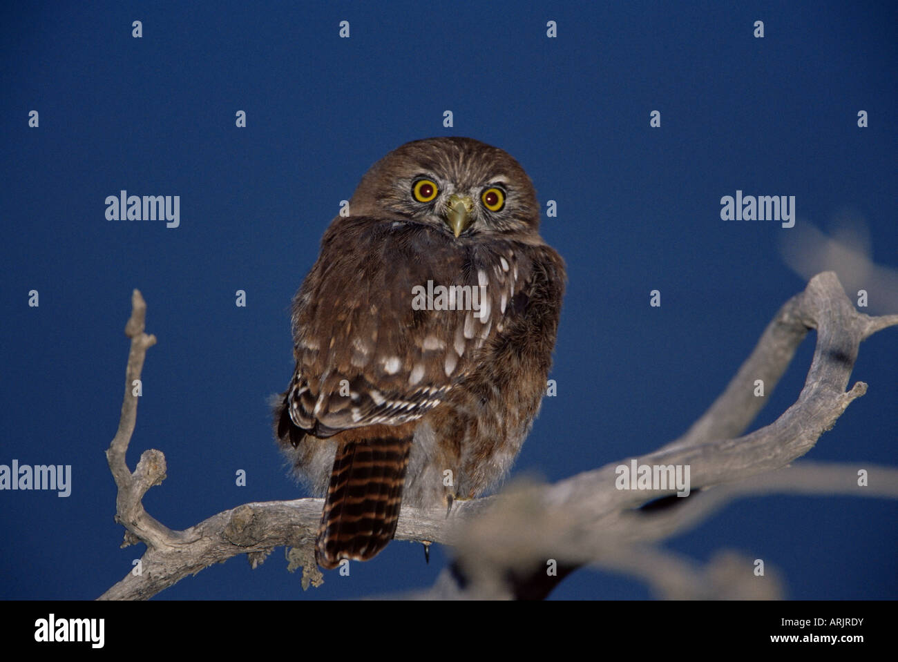 An austral pygmy owl (Glaucidium nanum) sitting on a tree, Torres del Paine National Park, Patagonia, Chile, South - Stock Image