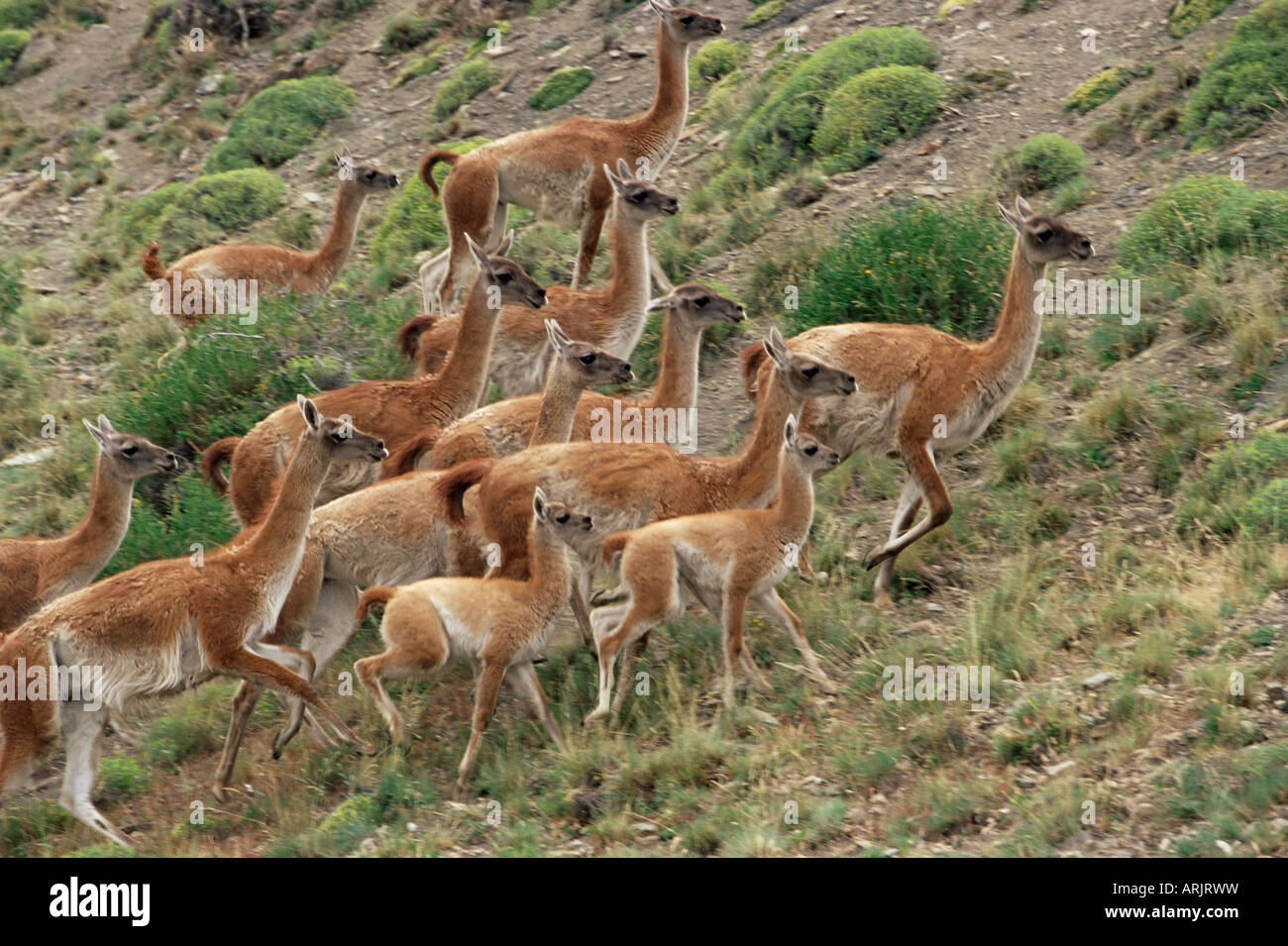 A herd of guanacos (Lama guanicoe), Torres del Paine National Park, Patagonia, Chile, South America - Stock Image