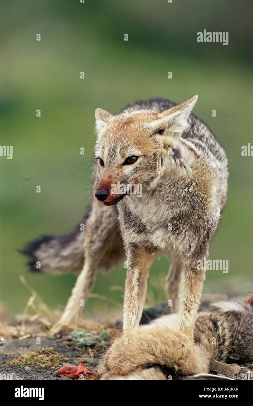 Patagonian grey fox (Dusicyon griseus griseus) defending his killed prey, Torres del Paine National Park, Patagonia, - Stock Image