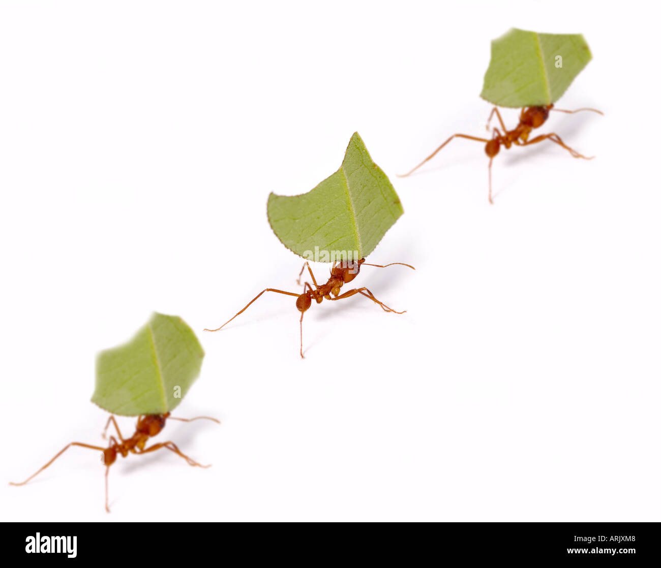 LEAF-CUTTER ANTS with leaves Atta sp. Amazonian Rainforest, Loreto, Peru - Stock Image